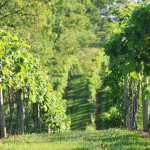 rose-hill-farm-vineyard