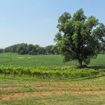 White-Buck-Vineyards-&-Winery-01